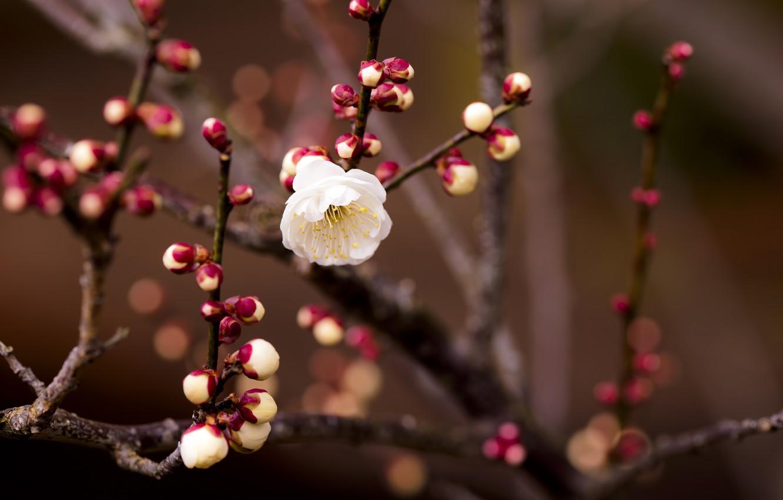 Photo wallpaper flower, macro, branch, spring, apricot, buds, bokeh, twigs, flower