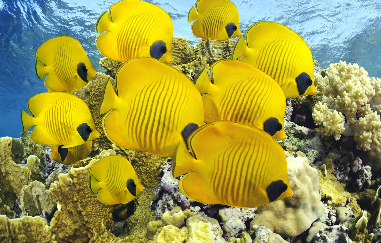 Photo wallpaper sea, fish, the ocean, corals, diving, fish butterfly