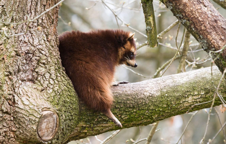 Photo wallpaper tree, branch, raccoon