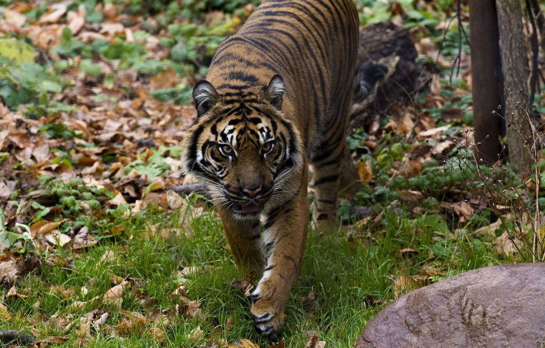 Photo wallpaper autumn, face, tiger, predator, walk, wild cat, zoo