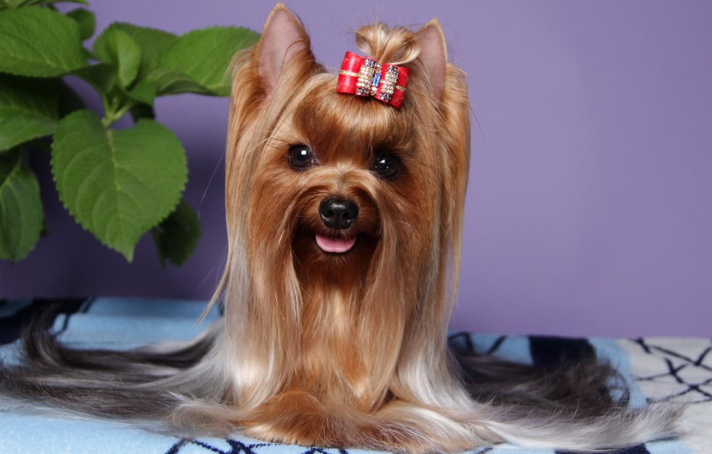 Photo wallpaper animals, look, photo, dog, Yorkshire Terrier