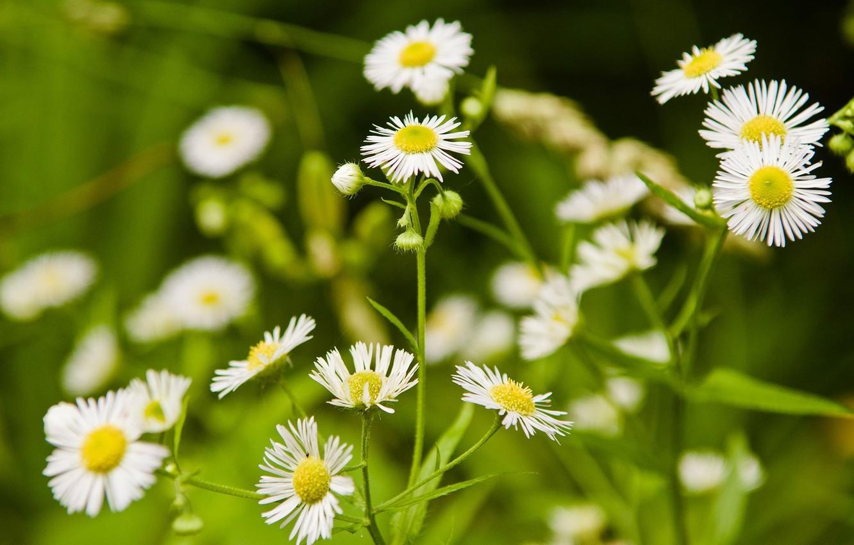 Photo wallpaper grass, flowers, nature, glade, chamomile, white