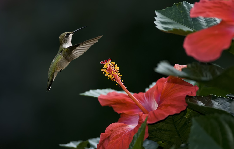 Photo wallpaper flower, bird, focus, Hummingbird, hibiscus