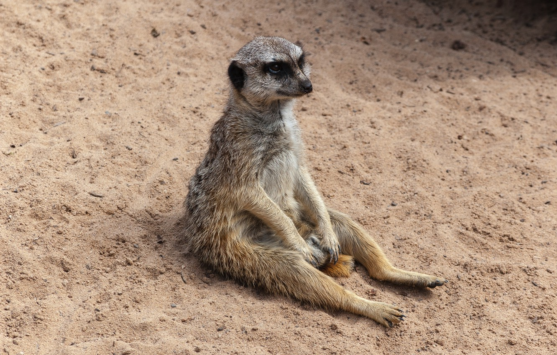 Photo wallpaper animal, sitting, meerkat