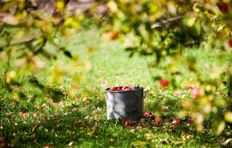 Photo wallpaper summer, the sun, apples, harvest, bucket, lawn