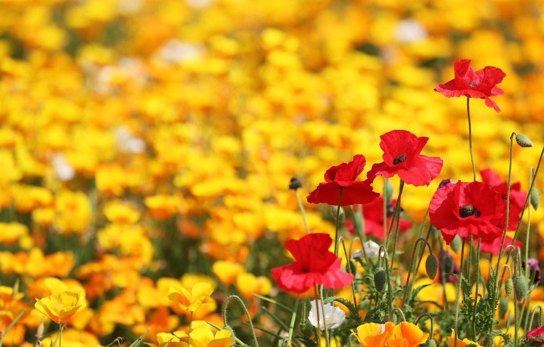 Photo wallpaper field, Maki, yellow, red