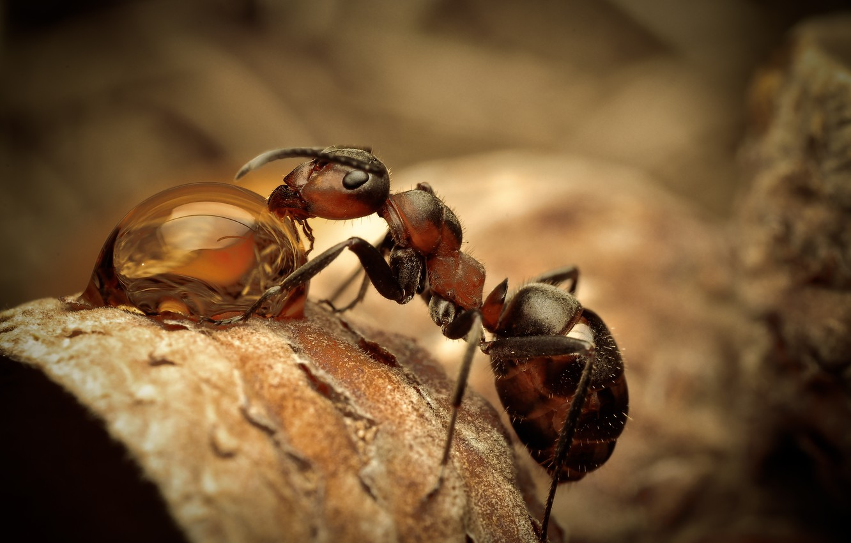 Photo wallpaper macro, drop, ant