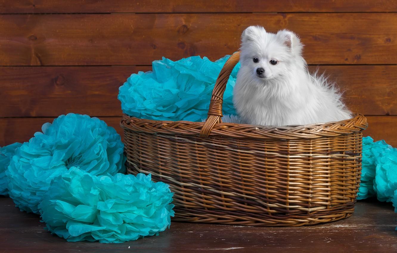 Photo wallpaper white, decoration, paper, background, blue, basket, Board, portrait, dog, puppy, fabric, wooden, face, sitting, cutie, …