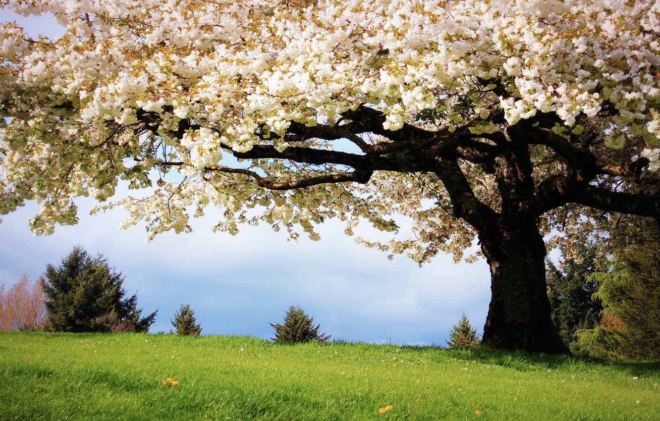 Photo wallpaper grass, nature, cherry, tree, color, spring