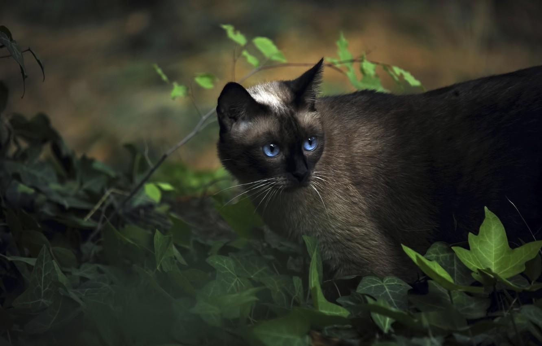 Photo wallpaper animals, cat, Siamese