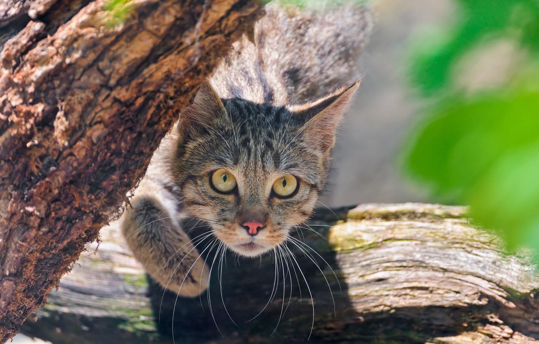 Photo wallpaper look, face, wild cat, Wild cat