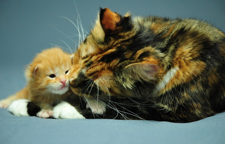 Photo wallpaper cat, background, Wallpaper, Desk, baby, kitty, mom