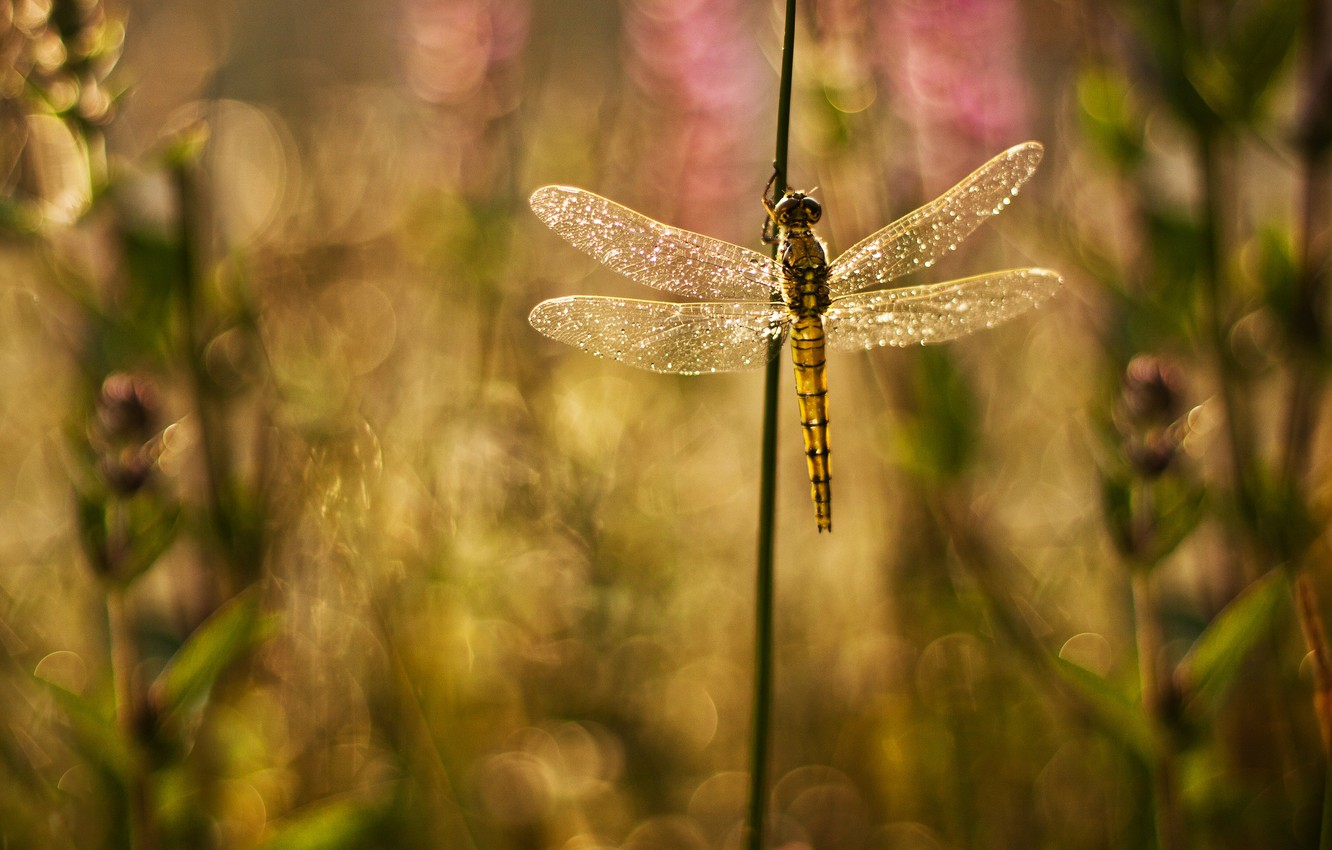 Photo wallpaper glare, background, Shine, wings, plants, dragonfly, blur, grass
