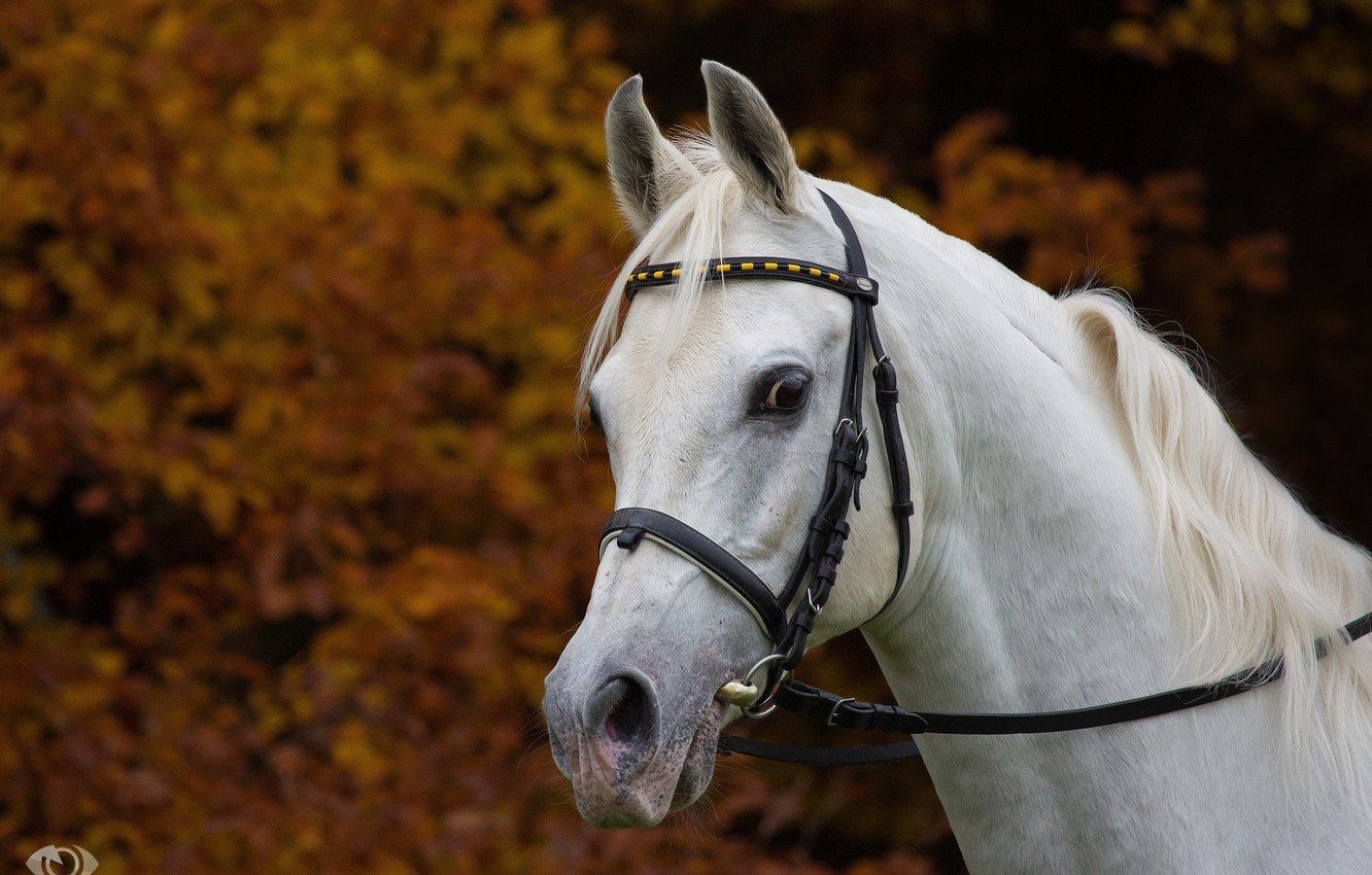 Photo wallpaper autumn, white, face, horse, horse, mane, handsome, (с) Oliver Seitz, bridle