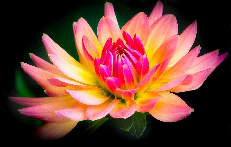 Photo wallpaper flower, black background, Dahlia, yellow-pink