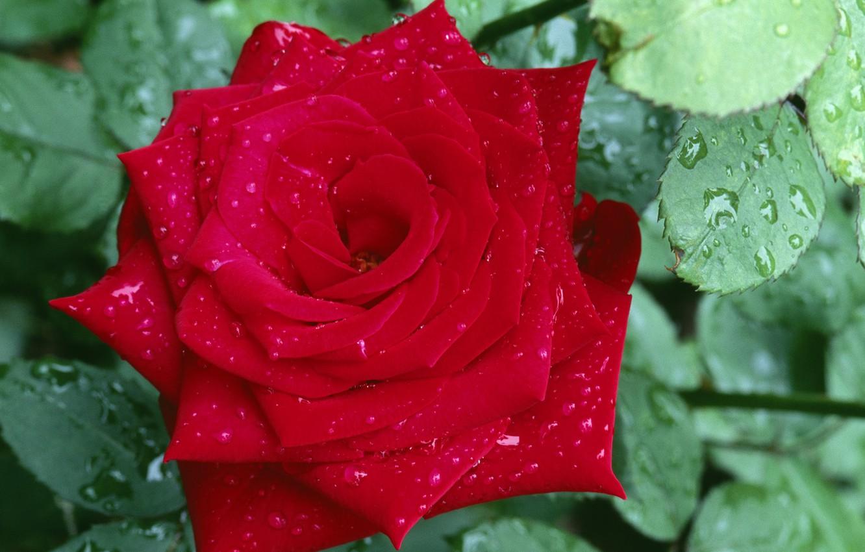 Photo wallpaper flower, leaves, drops, macro, Rosa, rose, petals, red