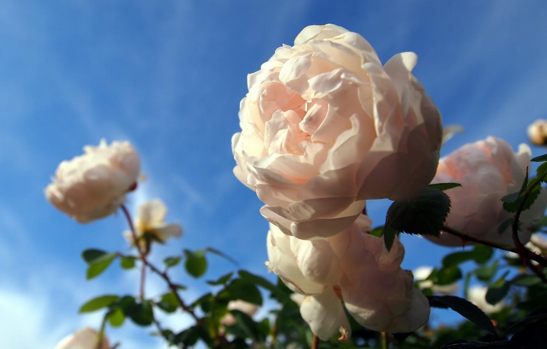 Photo wallpaper macro, roses, bokeh, rose Bush