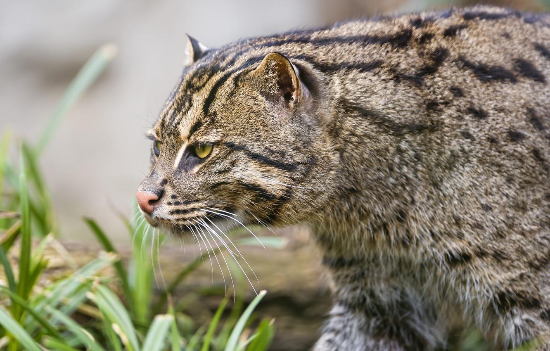 Photo wallpaper cat, cat, ©Tambako The Jaguar, fishing cat, kot Rybolov, angler