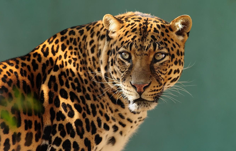 Photo wallpaper look, face, predator, leopard, profile