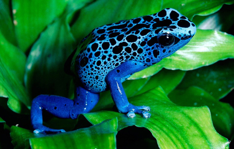 Photo wallpaper Sheet, Blue, Frog