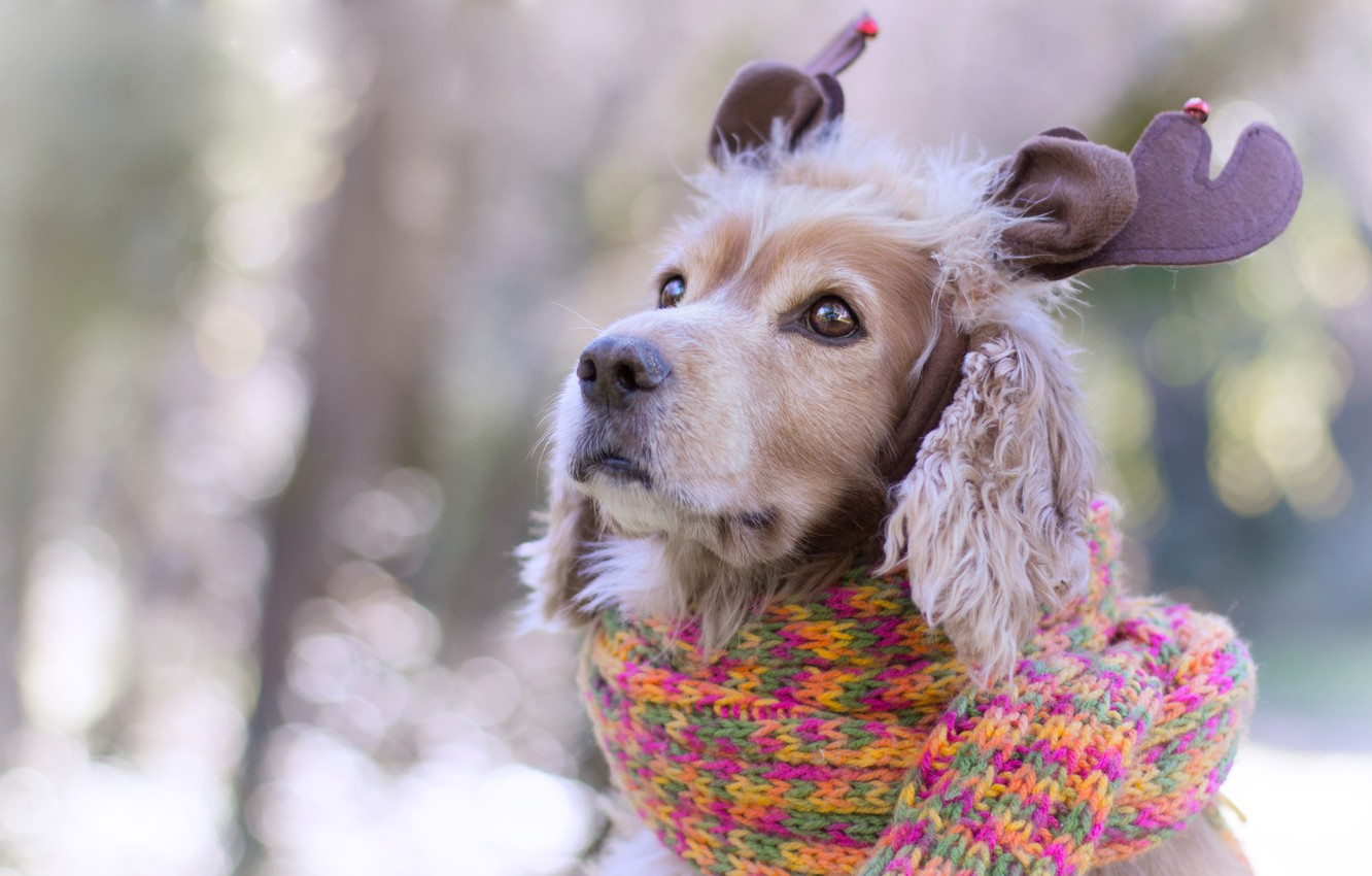 Photo wallpaper eyes, look, background, new year, portrait, Christmas, dog, scarf, puppy, horns, decoration, face, ears, the …