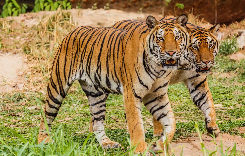 Photo wallpaper pair, tigers, big cats
