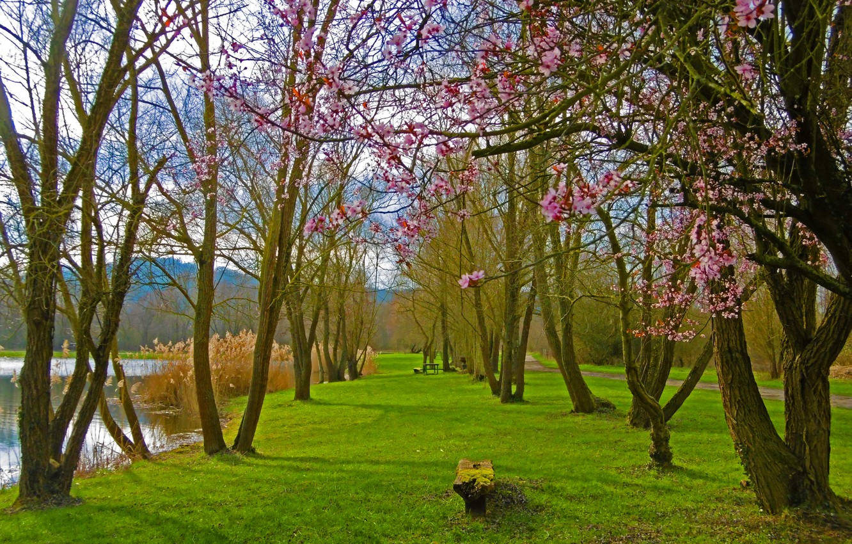 Photo wallpaper lake, Park, spring, flowering, trees, park, lake, Spring, flowering
