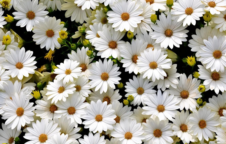Photo wallpaper field, white, petals, Daisy