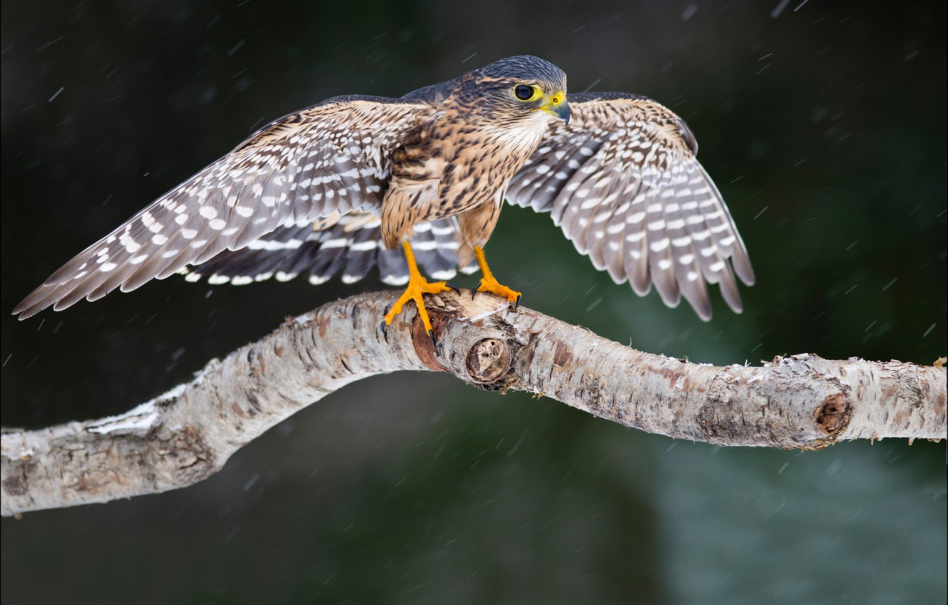 Photo wallpaper look, snow, tree, bird, wings, Falcon
