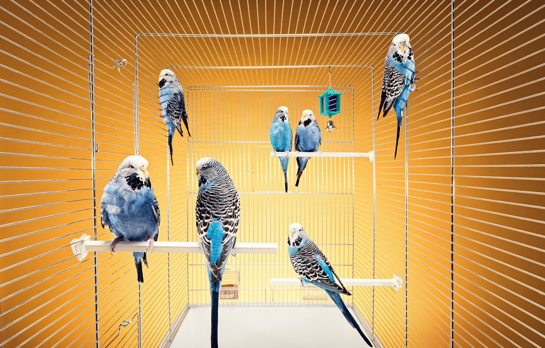 Photo wallpaper cell, Birds, budgerigars