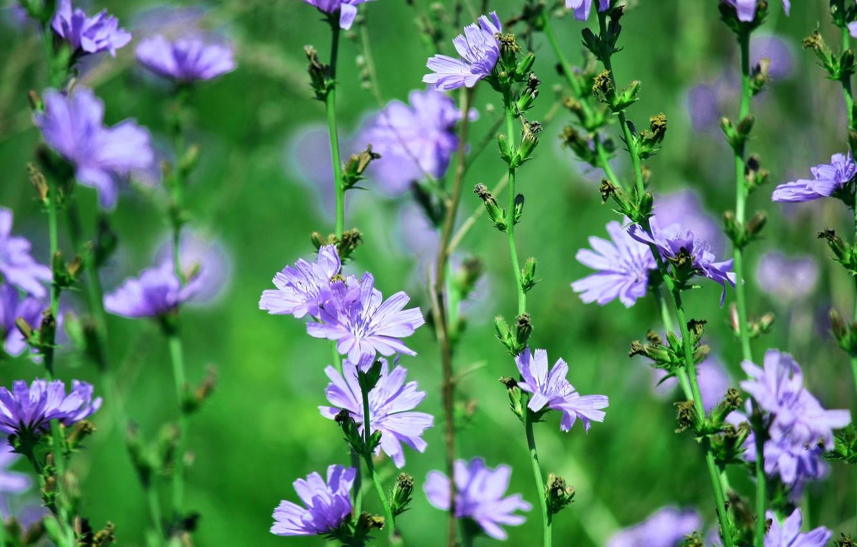 Photo wallpaper summer, flowers, chicory