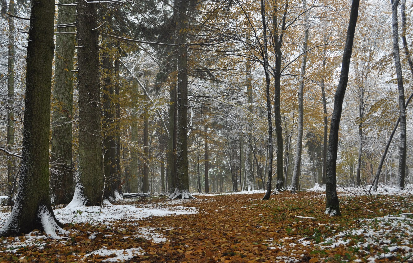 Photo wallpaper forest, autumn, snow, Poland, Bialowieza