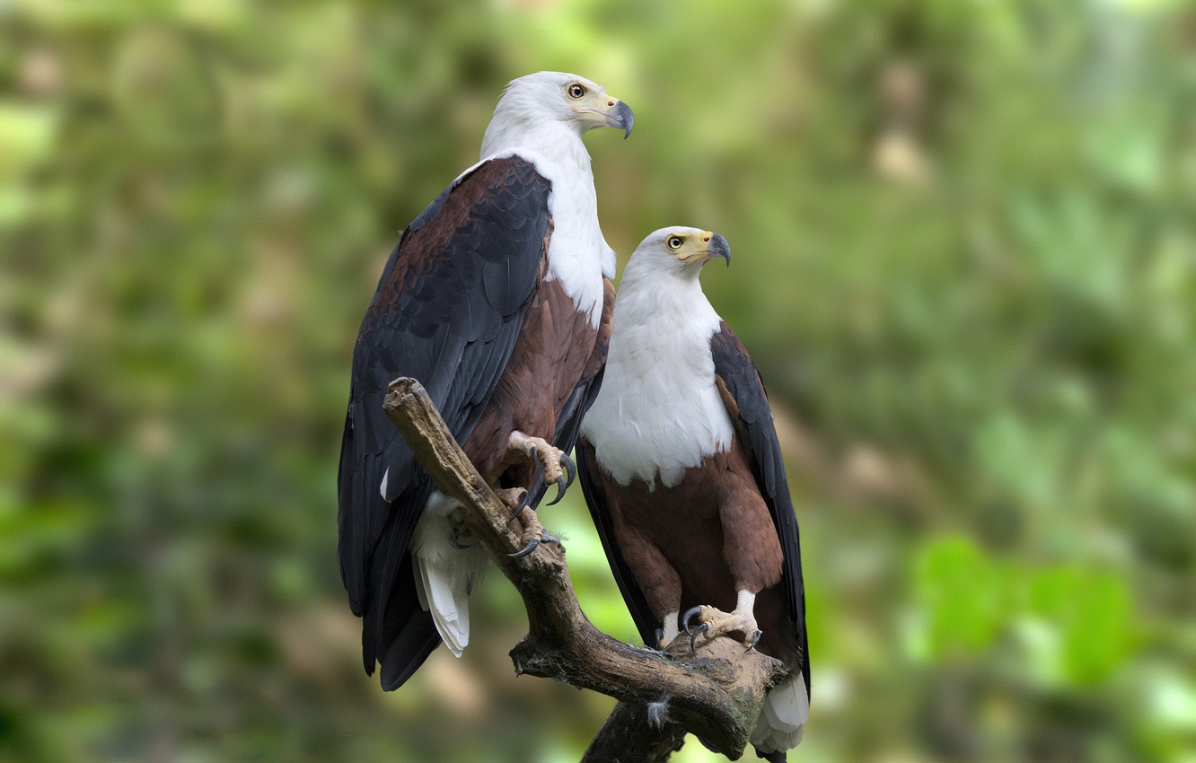 wallpaper forest, branch, the eagles, wildlife, african fish eaglephoto wallpaper forest, branch, the eagles, wildlife, african fish eagle