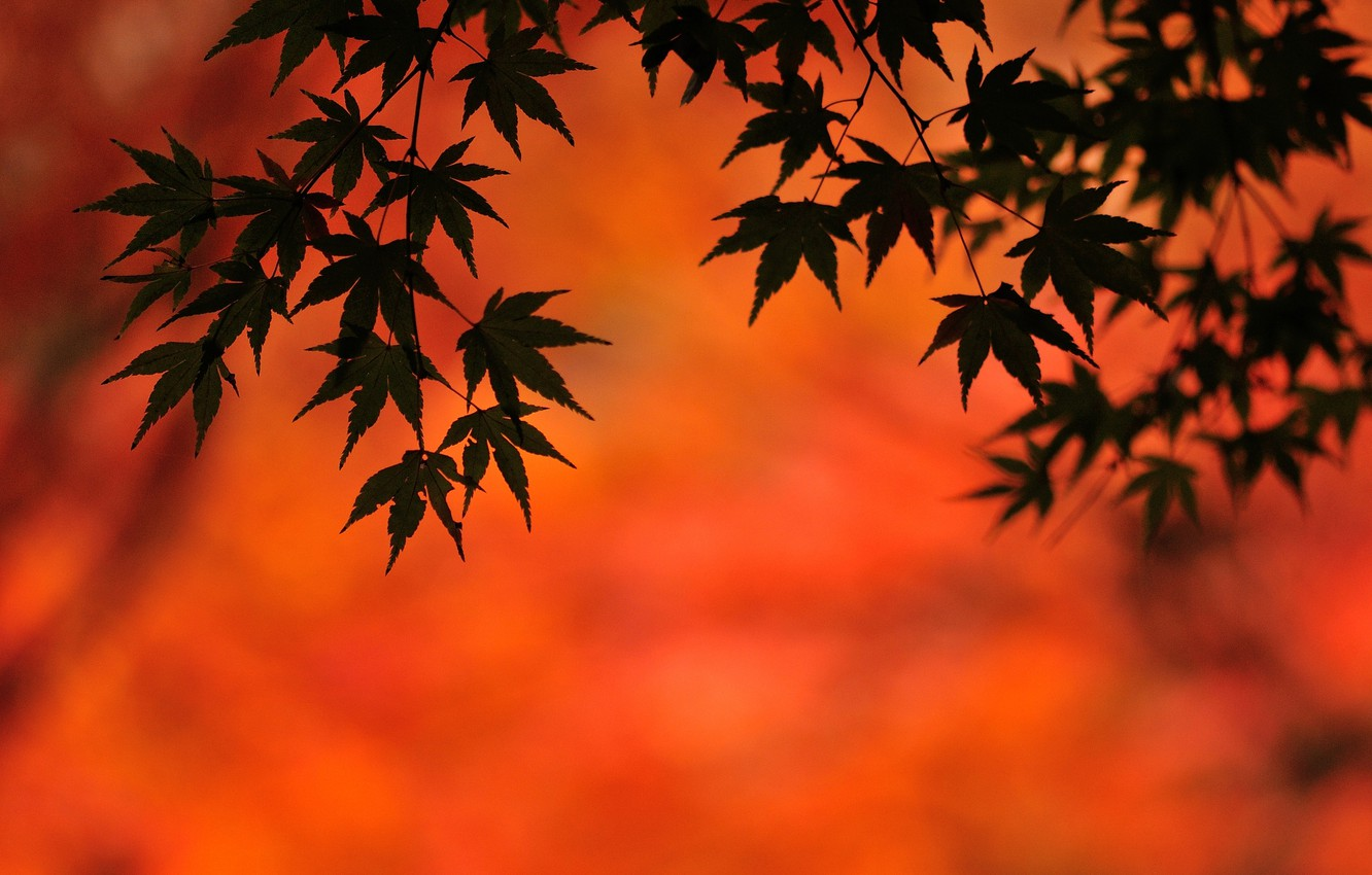 Photo wallpaper autumn, leaves, background, maple