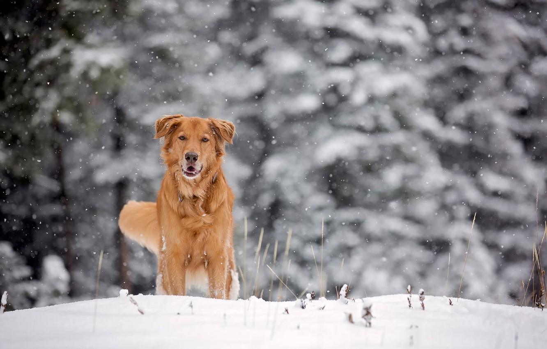 Photo wallpaper winter, snow, dog, red