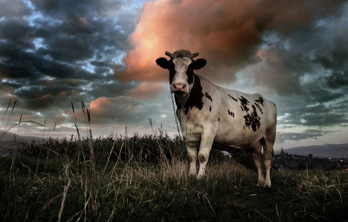 Photo wallpaper field, clouds, cow