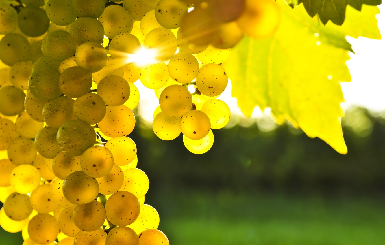 Photo wallpaper leaves, yellow, grapes, bunch, the glare of the sun