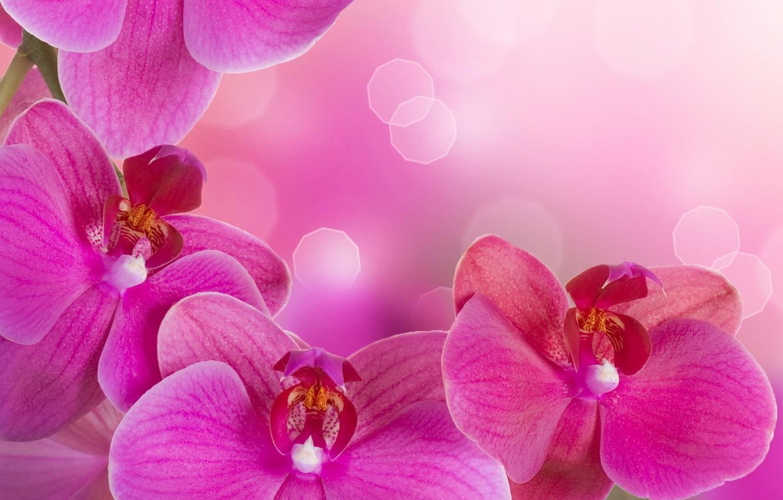 Photo wallpaper flowers, tenderness, beauty, petals, orchids, Orchid, pink, flowers, beauty, Phalaenopsis, phalaenopsis, Orchid, petals, tenderness, bright, …