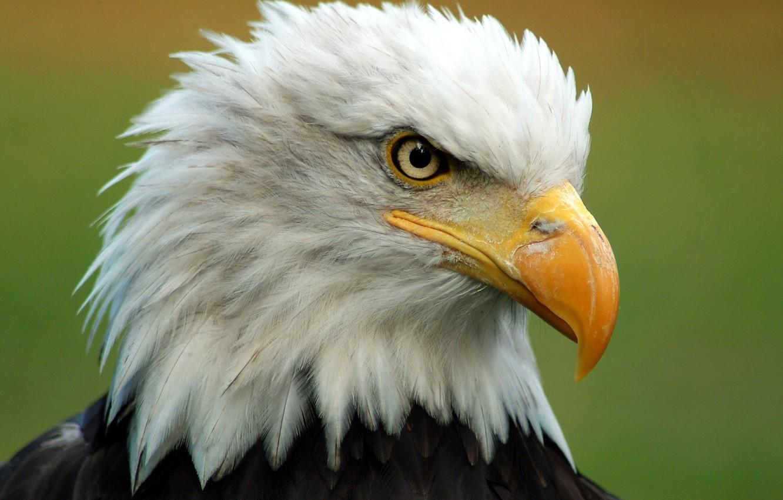 Photo wallpaper bird, head, feathers, beak, bald eagle, bald eagle