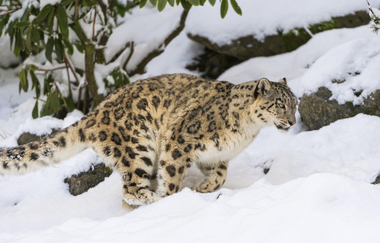 Photo wallpaper winter, cat, snow, IRBIS, snow leopard, ©Tambako The Jaguar