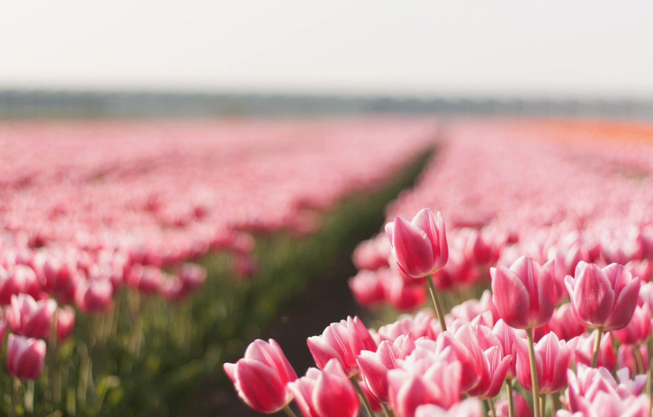 Photo wallpaper field, summer, flowers, nature, photo, Wallpaper, tulips, picture