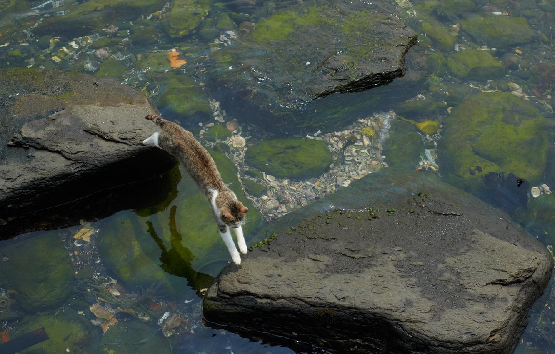 Photo wallpaper cat, water, algae, stones, jump, stranded