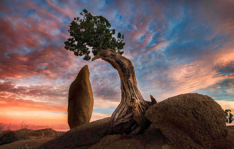 Photo wallpaper nature, tree, rocks, california, america, joshua tree