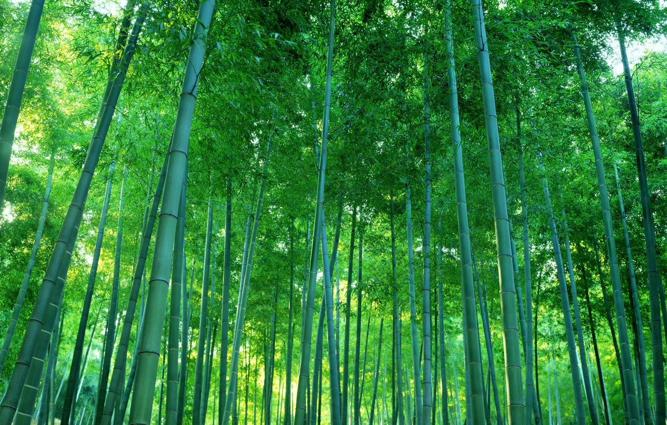 Photo wallpaper forest, thickets, bamboo, grove
