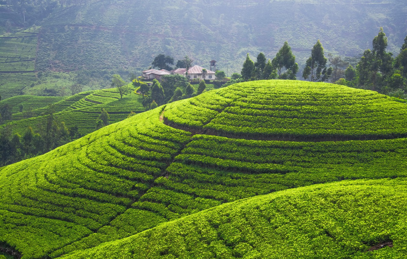 Photo wallpaper greens, hills, field, panorama, plantation, tea plantation