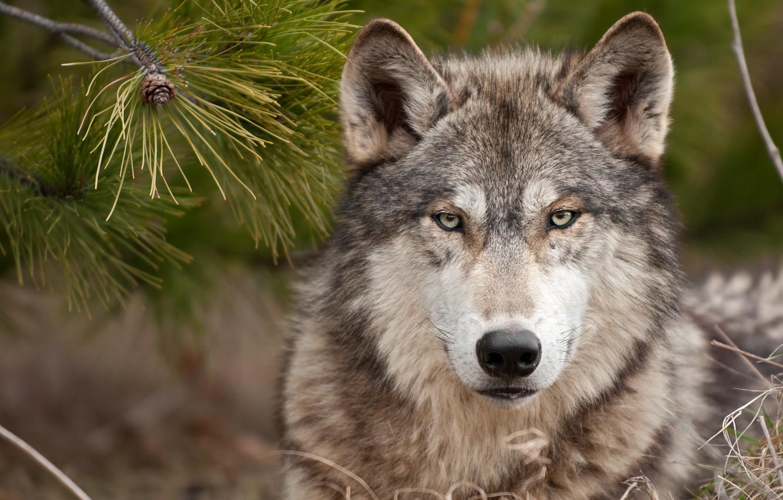 Photo wallpaper wolf, predator, wolf, a stern look