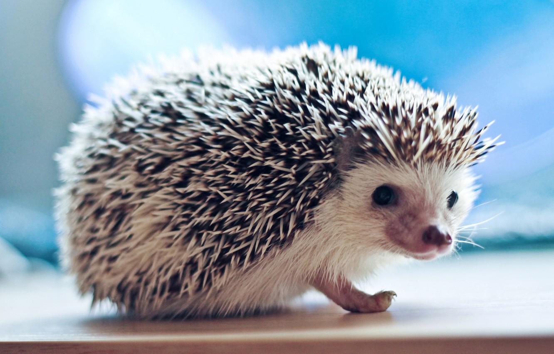 Photo wallpaper look, needles, hedgehog, hedgehog