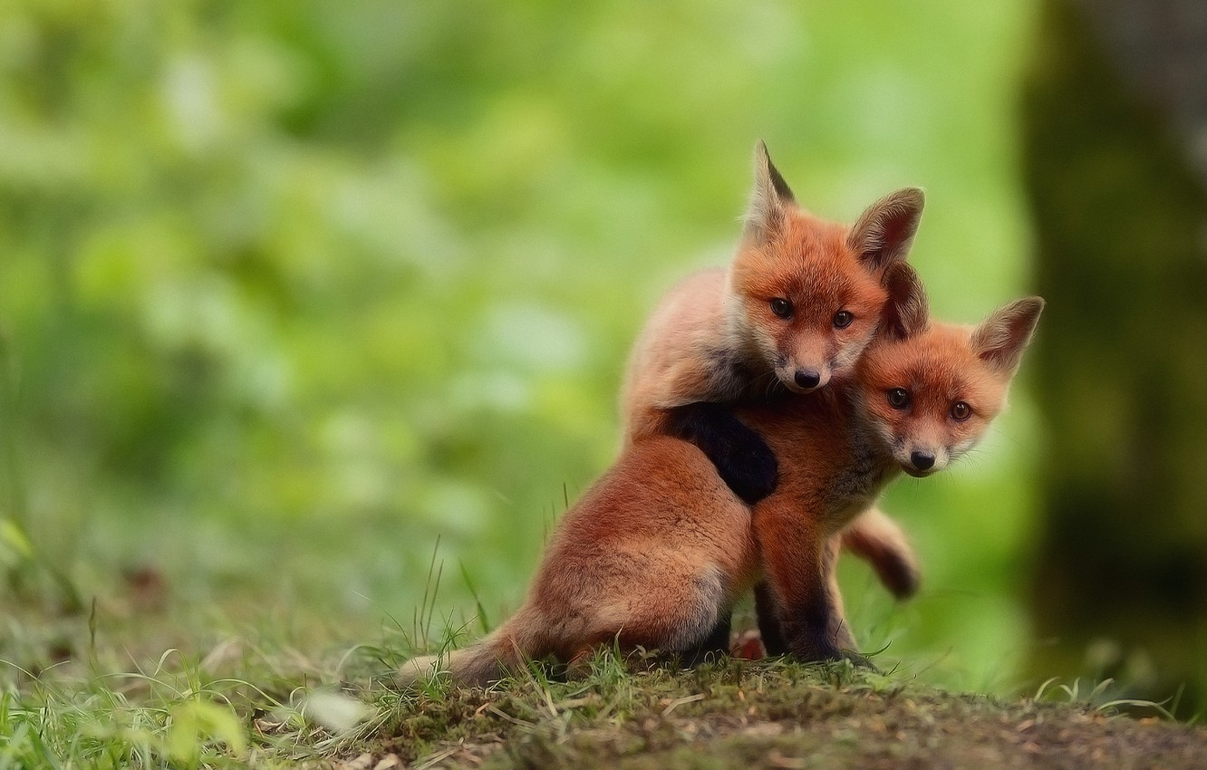 Photo wallpaper Fox, play, look, two brothers, cubs