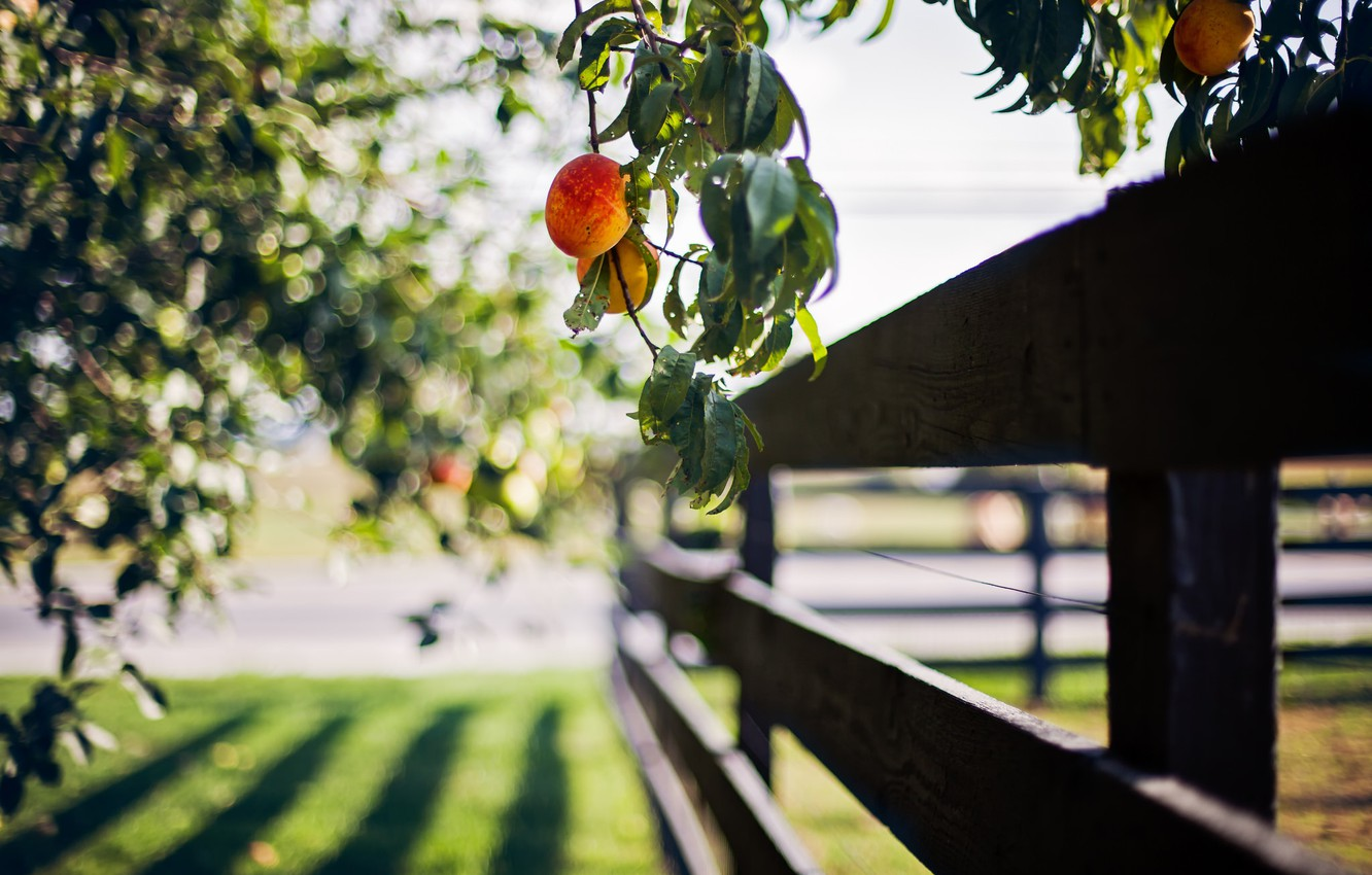Photo wallpaper summer, the fence, peach