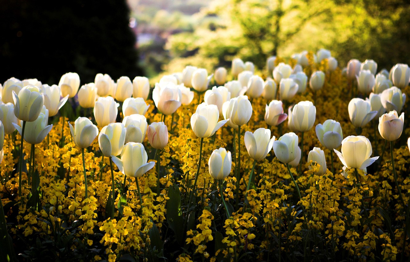 Photo wallpaper color, the sun, light, flowers, glare, Park, spring, yellow, blur, tulips, white, flowerbed, square